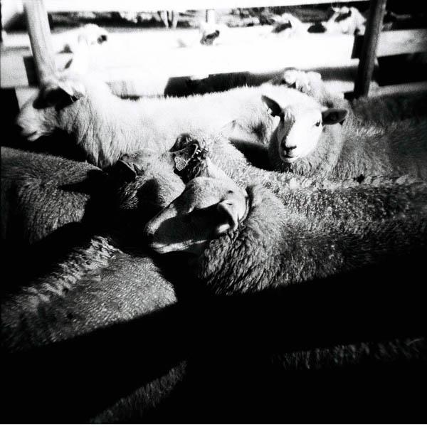 På Bru sto også sauene i kø for en aldri så liten sjekk.